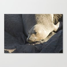 Elephant Seal: Contentment Canvas Print