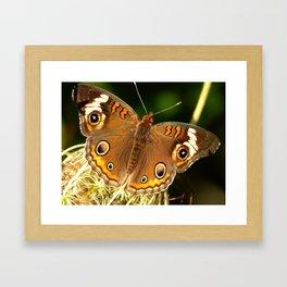 Common Buckeye V Framed Art Print