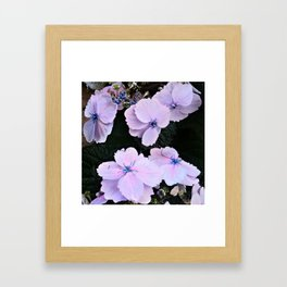 hydrangea in pastell rose and blue Framed Art Print