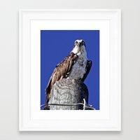 jay fleck Framed Art Prints featuring My favorite osprey, Fleck by Sandy Scott