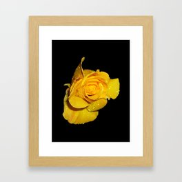 Beautiful Yellow Rose with Dew Drops Framed Art Print
