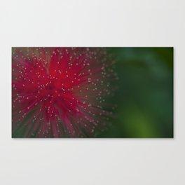 Red Calliandra flower. Canvas Print