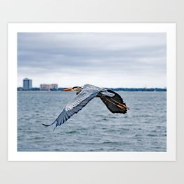 In Flight ~ Blue Heron Art Print