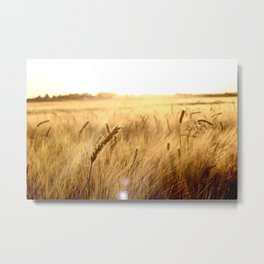 Golden wheat in the sunset Metal Print