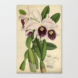 The Orchid Album - Dendrobium Suavissimum Canvas Print
