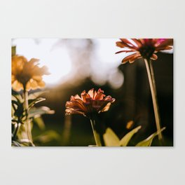 Zinnias at Sunset Canvas Print