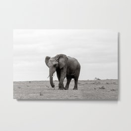 Elephant in South Africa Metal Print