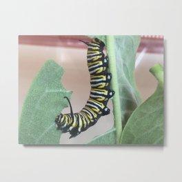 Monarch Caterpilliar Metal Print