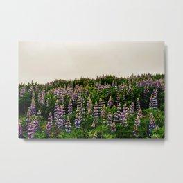 Iceland Purple Flower Field Alaskan Lupine Metal Print