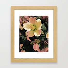 Helleborus Framed Art Print