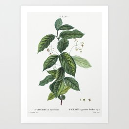 Broadleaf spindle (Evonymus latifolius) from Traité des Arbres et Arbustes que l'on cultive en Franc Art Print