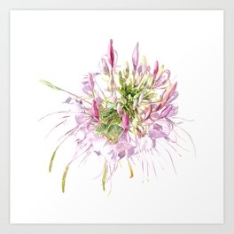 Cleome spinosa-flower watercolor Art Print
