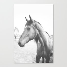 bw horse, equestrian, black and white horse, thoroughbred Canvas Print