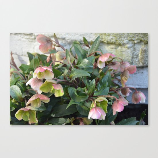 Pink flowers against an old brick wall Canvas Print