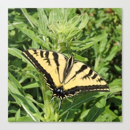 Swallowtail at Rest on Greenery Canvas Print