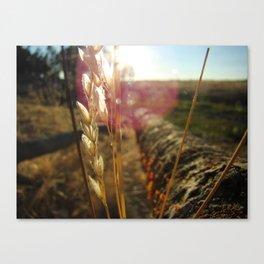Sun Gazing Wheat Canvas Print