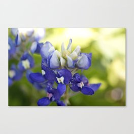 Bluebonnet Flowers in the Wild Canvas Print