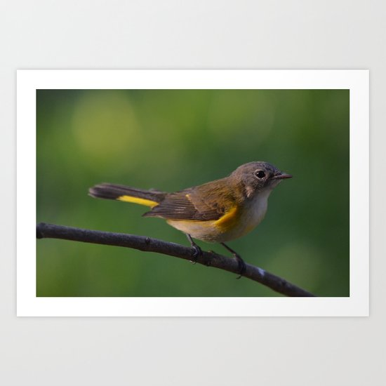 A Female American Redstart 2 Art Print