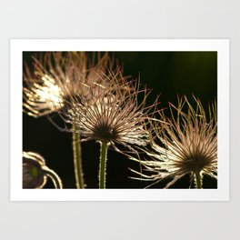 withered blossoms of pasque flowers Art Print