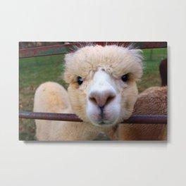 Alpaca Gaze Metal Print