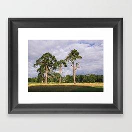 Evening light on Scots Pine trees (Pinus sylvestris). Norfolk, UK Framed Art Print