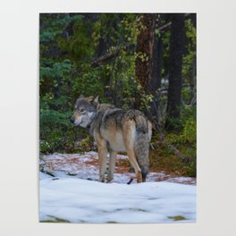 Wolf in Jasper National Park Poster