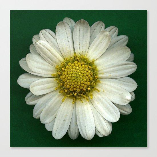 Single White Chrysanthemum Canvas Print