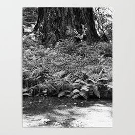 Muir Woods Study 10 Poster