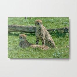 2 Cheetahs Metal Print