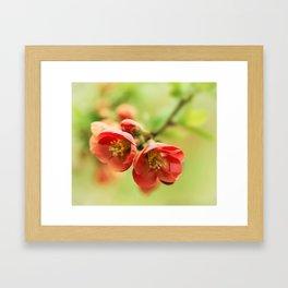 Chaenomeles flowers Framed Art Print
