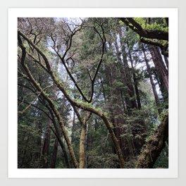California: Muir Woods Art Print