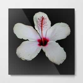 White Hibiscus Isolated on Black Background Metal Print