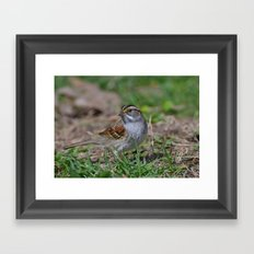 A White Throated Sparrow Framed Art Print