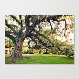 Live Oak Tree with Spanish Moss Canvas Print