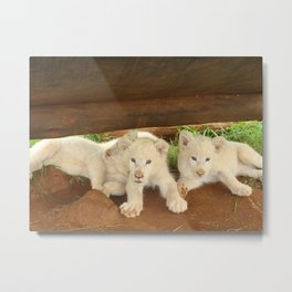 White Lion Cubs on the Prowl Metal Print