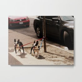 Boston Terriers ~ amped up for action! Metal Print