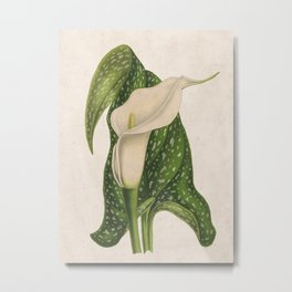 Vintage Flower Calla Lily with Green Leaves Closeup Metal Print