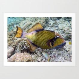 Titan Triggerfish, Vilamendhoo, Maldives Art Print