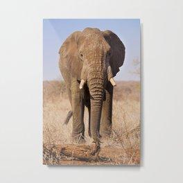 Elephant in Kruger National Park, South Africa Metal Print