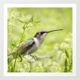 Hummingbird XIV Art Print