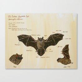The Eastern Pipistrelle Bat Anatomy Canvas Print