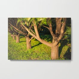 Beautiful sunlight, sunset, tree alley Metal Print