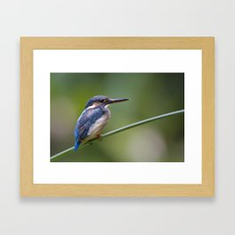Juvenile Common Kingfisher ( Alcedo atthis ) Framed Art Print