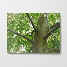 Sycamore Tree Underside Metal Print