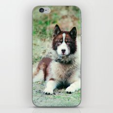 Greenland Dog iPhone & iPod Skin