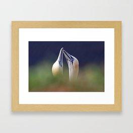 Gannets in love Framed Art Print