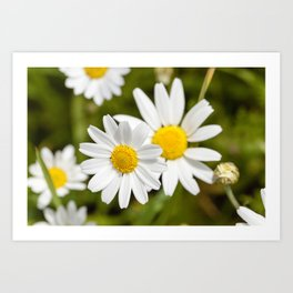 white daisy , flowers. Art Print