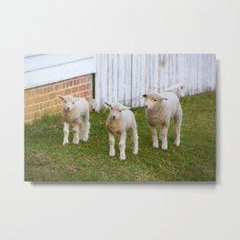 3 Little Lambs Metal Print