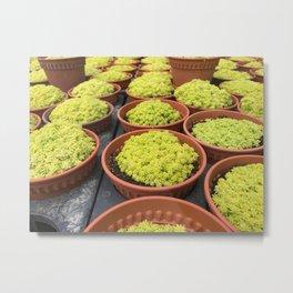 Close up shot of Mini Moss Pot at Cameron highlands Cactus Point . Metal Print