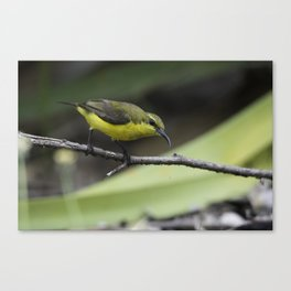 Olive-Backed Sunbird Canvas Print